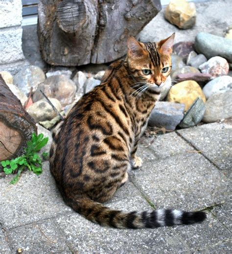 Bengal - Met one like this at an adoption fair